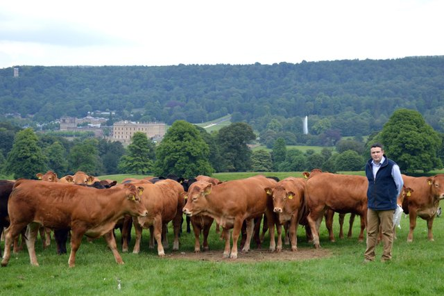 Farms manager David Howlett with part of the Chatsworth estate herd.