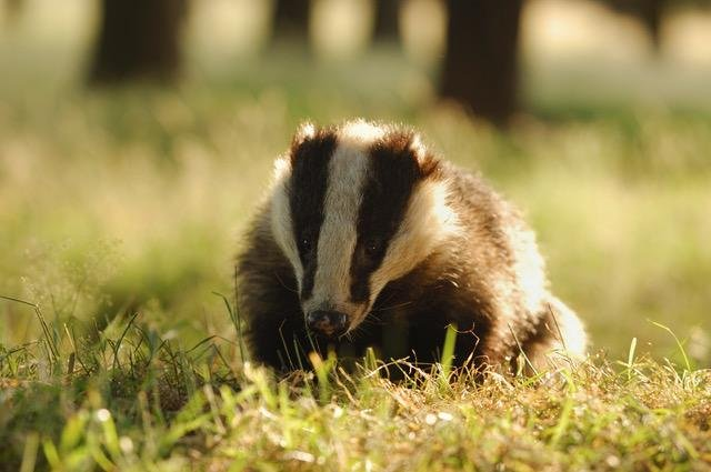 AN adult Derbyshire badger. Photo: Andrew Parkinson/2020VISION