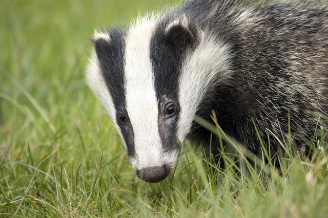Badger baiting involves digging into badger setts to capture badgers and then either letting them fight each other or making them fight against trained dogs