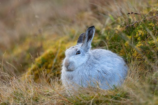 The hare's fur would usually be turning to brown now. Credit: Brian Matthews / SWNS.com.